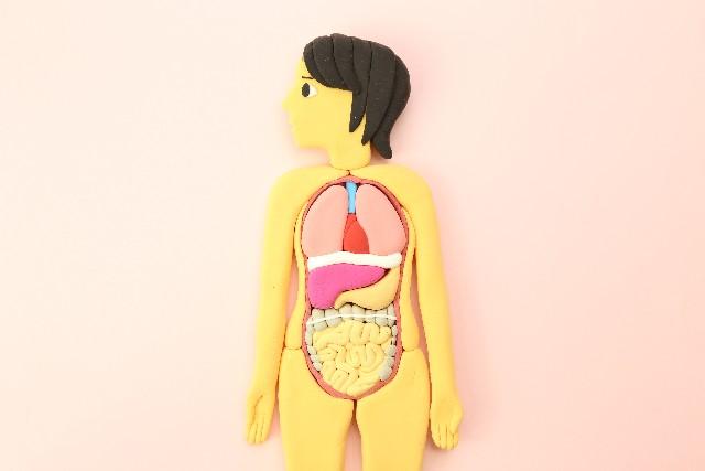 人間の模型