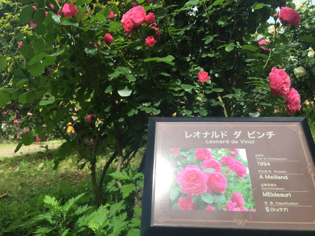 レオナルドダビンチという名のバラ